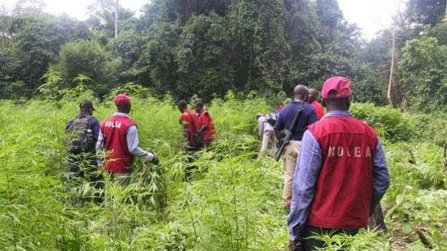 NDLEA Uncover N1.4bn Worth Of Cannabis Farm In Edo Forest